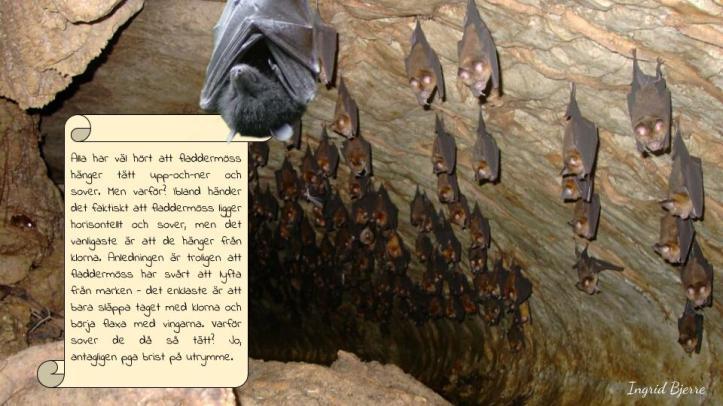 Fladdermöss (2)