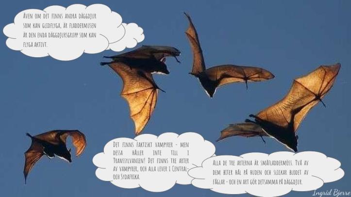 Fladdermöss (4)